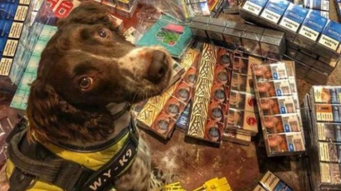 La tête de ce chien renifleur surdoué est mise à prix par des trafiquants de tabac