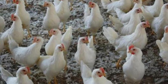 زيادة أسعار الدواجن البيضاء والبلدي.. تعرف على سعر الكيلو