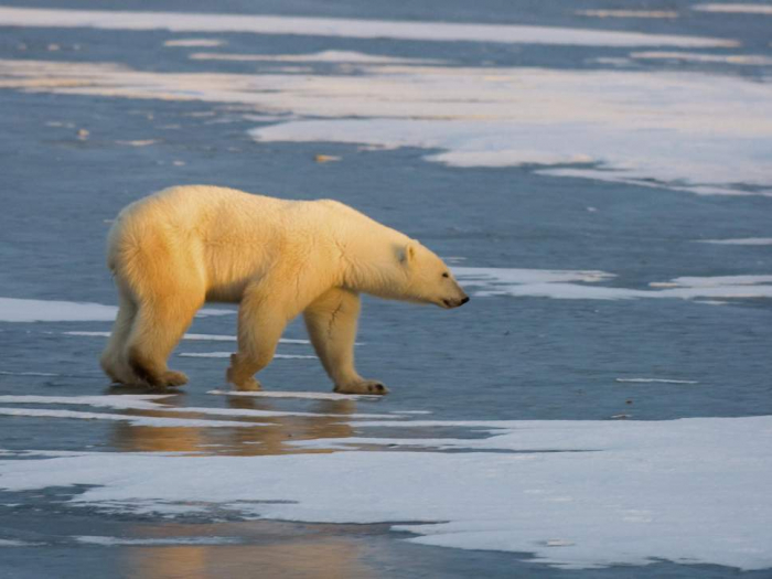 Russia may shoot dead 52 polar bears 'invading' village homes as sea ice melts