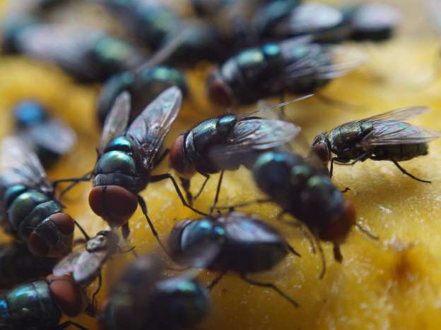 Food poisoning cases could surge as climate change brings flies