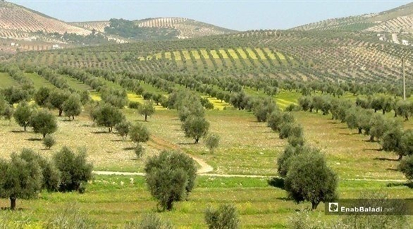 إسبانيا: انتقادات أوروبية لتركيا بسبب سرقة الزيتون السوري