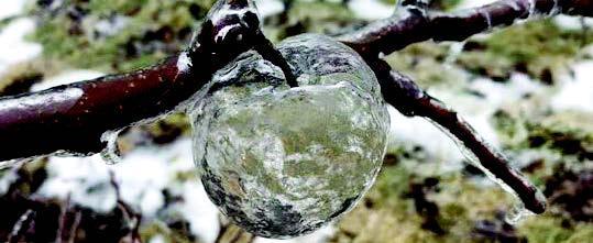 بستان يطرح تفاحاً «زجاجياً»