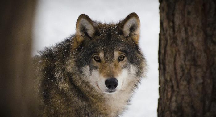 Wölfe greifen in Deutschland deutlich mehr Nutztiere an