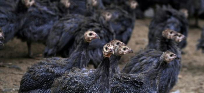 Seize mille pintades meurent dans un incendie en Bretagne