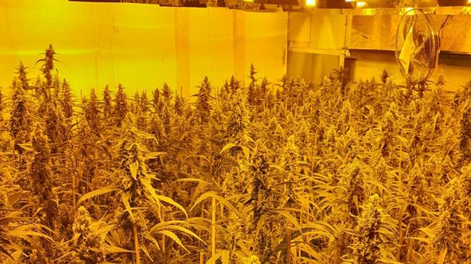 Bruxelles: 1800 plants de cannabis découverts