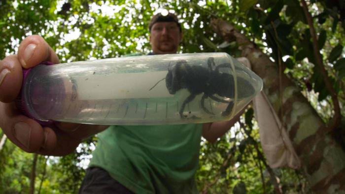Indonésie: la plus grosse abeille du monde retrouvée