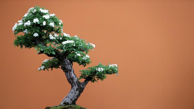 Japon: un jardinier lance un SOS après un vol de bonsaïs