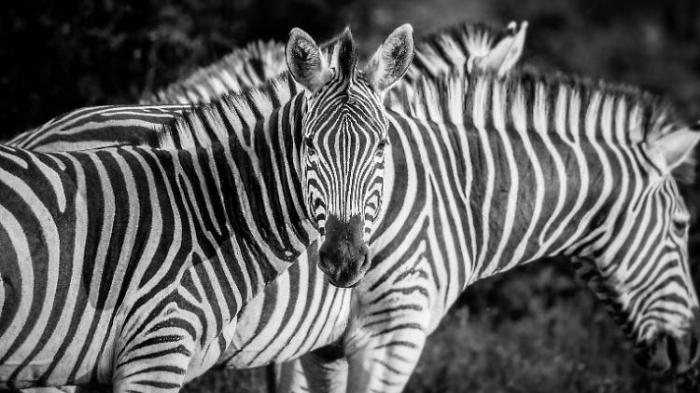 Rätsel um Zebrastreifen scheint gelöst
