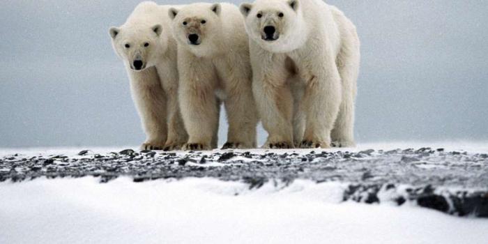 Des ours polaires agressifs en Russie