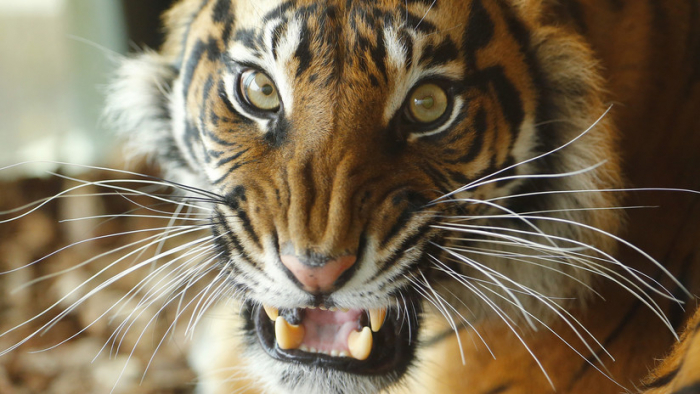 En el zoo de Londres: Una tigresa amenazada de extinción muere destrozada por un macho en su