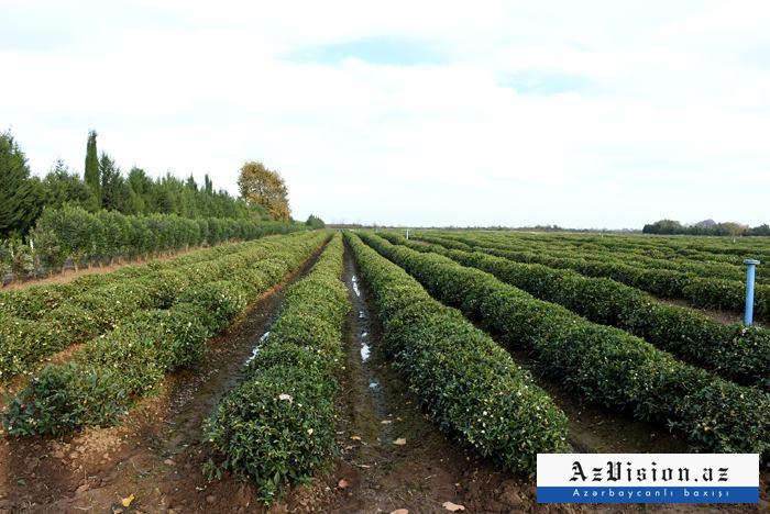 İki ayda Azərbaycan 229 ton çay ixrac edib