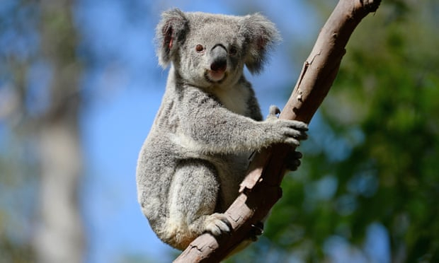 Koalas should be given endangered listing, environment groups say