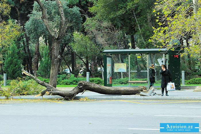 Güclü külək Bakıda ağacları aşırdı - Xəbərdarlıq