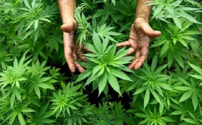 Balakəndə narkotik plantasiyası aşkarlanıb