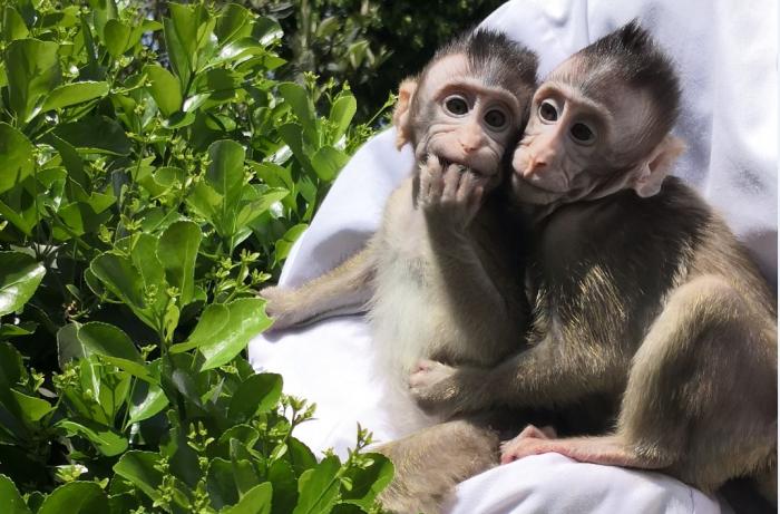 Chinese, US researchers create monkeys with human-like brain development