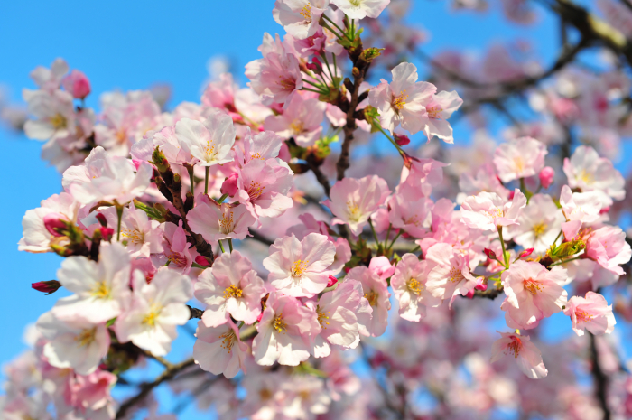 Cherry blossoms, glacier collapse, Bolt races a car, fire in South Korea -  No Comment of the Week