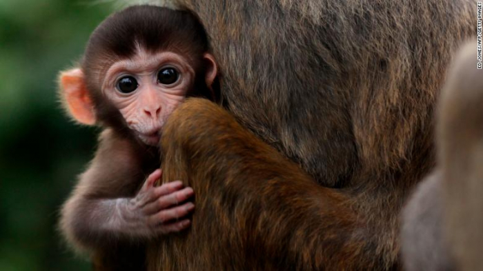 Chinese scientists defend implanting human gene into monkeys