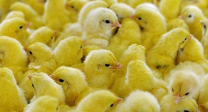 """Wenige Hundert Supermärkte bieten """"Eier ohne Kükentötung"""" an"""