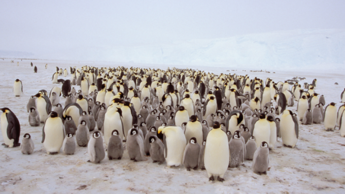 World's second largest emperor penguin colony 'disappeared overnight'