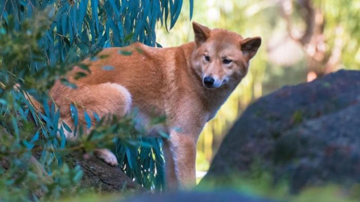 Mehr Schutz vor Dingos