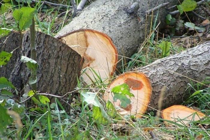 Nazirlik ağac kəsən şəxsi cəzalandırıb