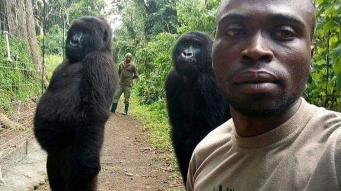 Deux gorilles orphelins posent pour un selfie avec un ranger au Congo