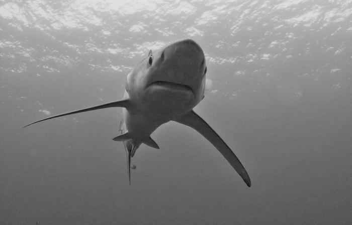 Japon: un requin retrouvé mort étouffé par une tortue géante