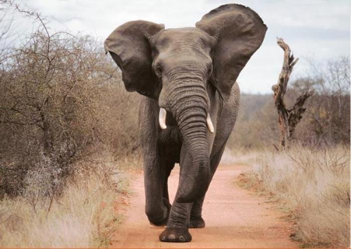 Un braconnier piétiné par un éléphant et dévoré par des lions