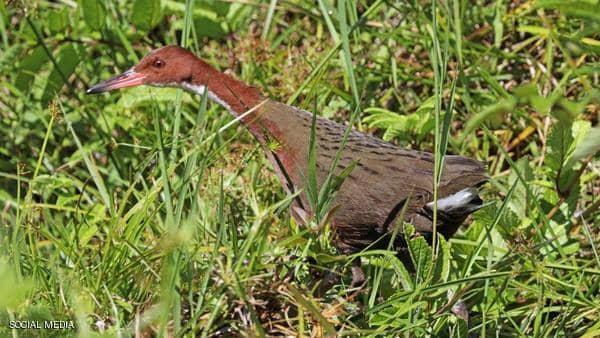 طائر يظهر بعد آلاف السنين من انقراضه