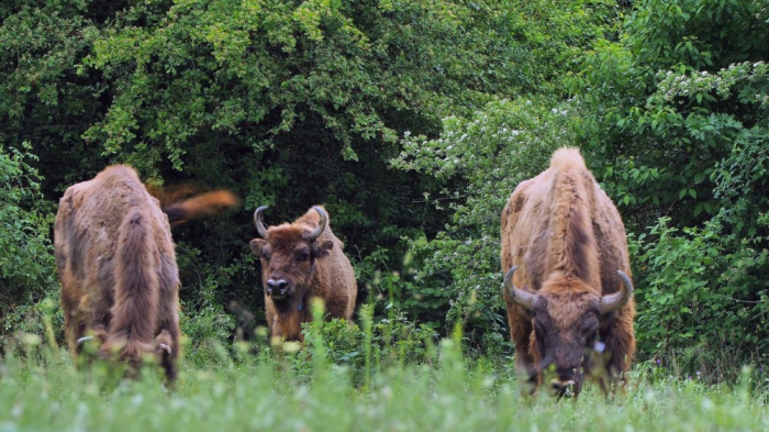 Un troupeau de bisons réintroduit dans la nature en Azerbaïdjan