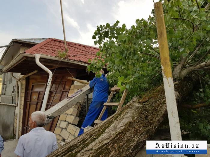 Güclü külək Şəkidə ağacları aşırdı - FOTOLAR