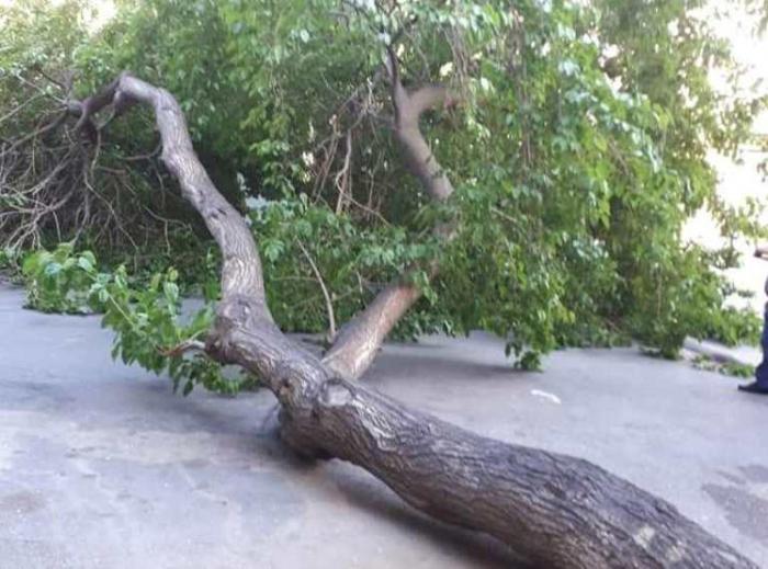 Bakıda güclü külək 5 ağacı kökündən çıxardı