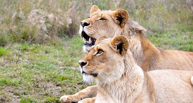 4 lions escape Cameroon wildlife park, kill 30 cattle