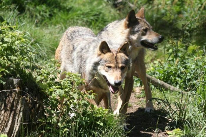 Allemagne: les loups prolifèrent, les règles d