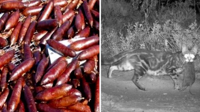 Australie:   Le gouvernement veut tuer deux millions de chats sauvages