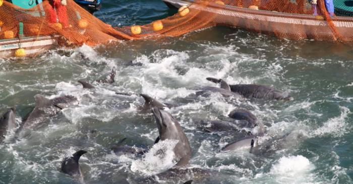 Japon: appel à la fin de la chasse au dauphin devant un tribunal