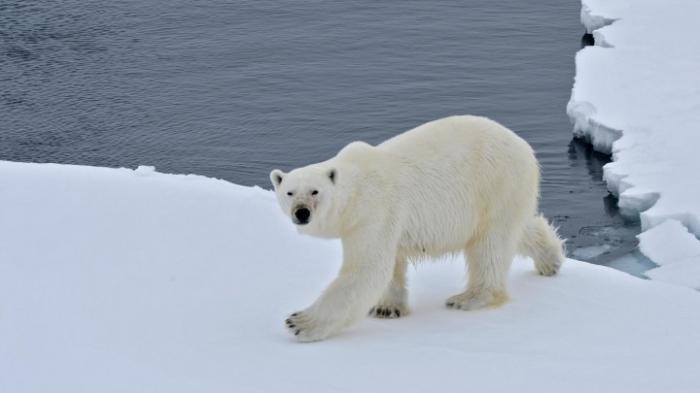 Russische Städte bereiten sich auf Eisbären-Invasion vor