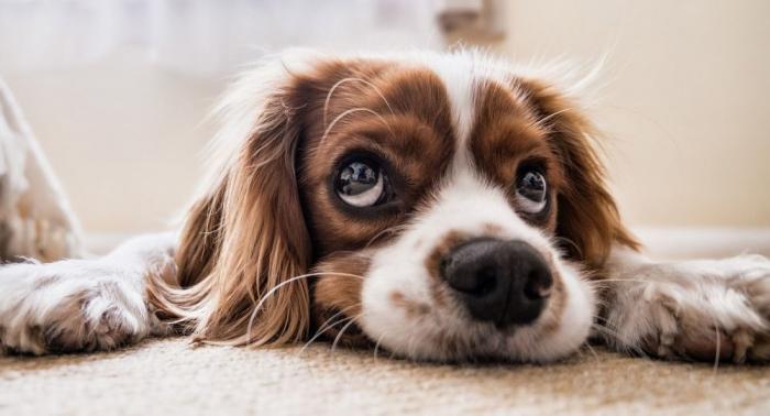 L'amour particulier des humains envers les chiens expliqué par une étude
