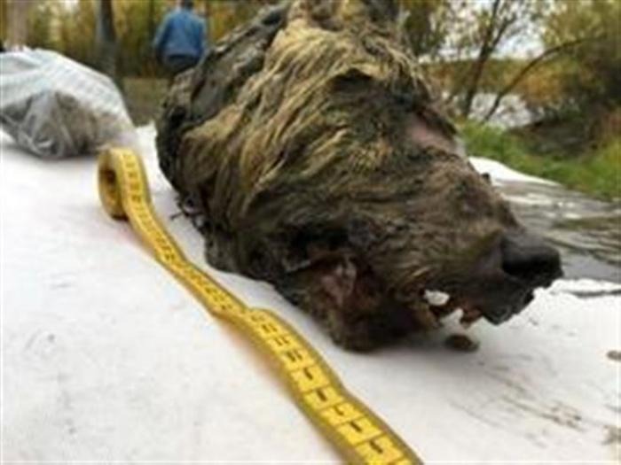 Russie: une gigantesque tête de loup vieille de 32.000 ans découverte en Sibérie