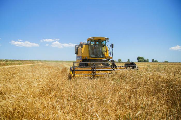 280 623 hektar ərazidə taxıl biçini aparılıb