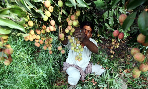 At least 31 children in India killed by toxin in lychees
