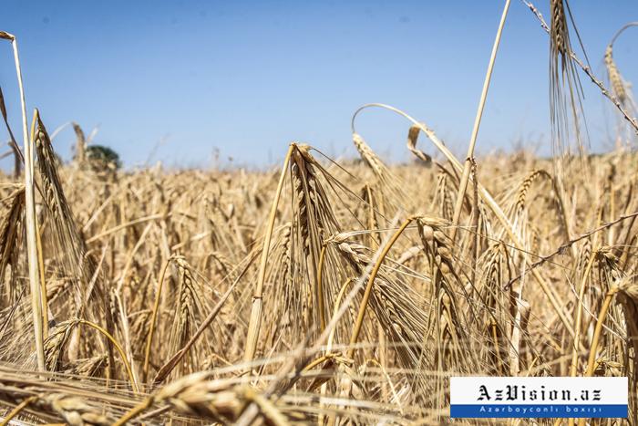 İndiyədək 427,8 min hektar sahədə taxıl biçilib