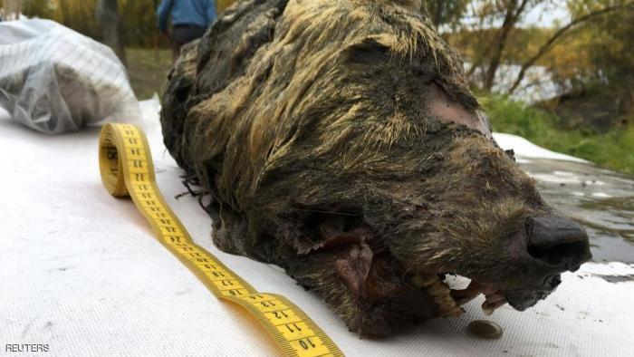 روسيا تكشف عن رأس ذئب عمرها 40 ألف عام