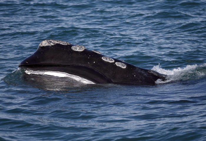 Canada takes new steps to protect endangered right whales
