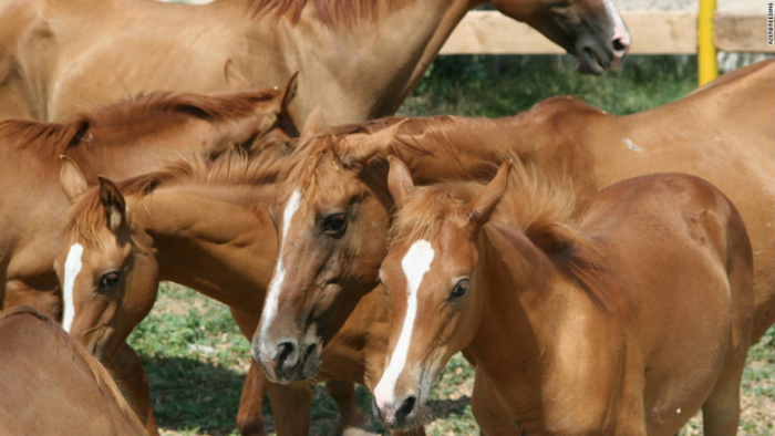 Azerbaijan's Qarabag Horse Breeding Farm LLC eyes to export horses to Europe