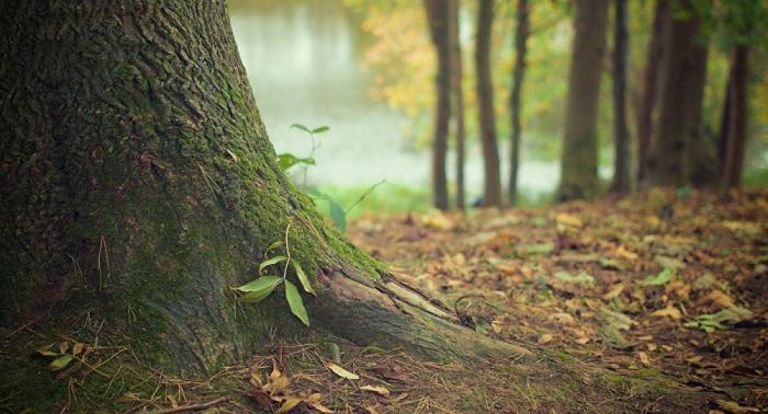 VIDEO:   Varios heridos tras la caída de un ramo de un árbol de 500 años en Azerbaiyán