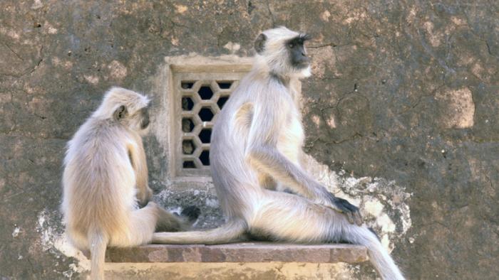 Ciudad india aterrorizada por los monos procede a su esterilización masiva
