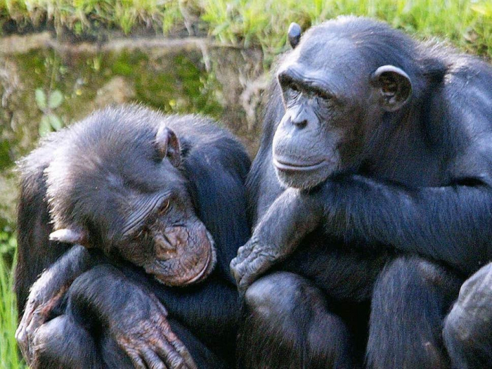 Chimpanzees bond in way previously thought unique only to humans