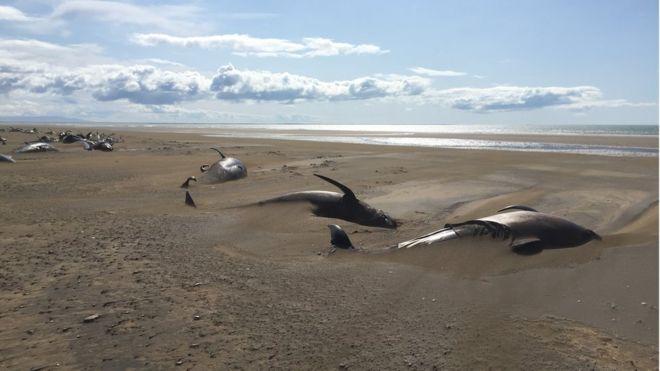 Iceland pilot whales: Dozens of dead mammals found beached