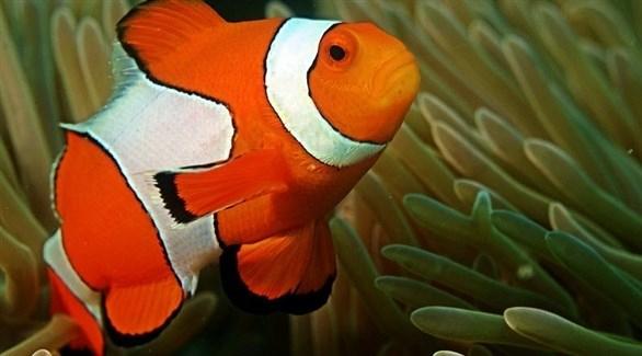 """التلوث الضوئي يهدد تكاثر السمكة الشهيرة """"نيمو"""""""